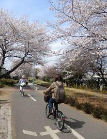 ●多摩湖自転車道も桜が満開でした