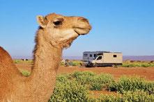 Kamel im Erg Chegaga