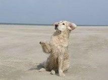 chien golden retriever blanc assis donne sa patte par coach canin 16 educateur canin charente