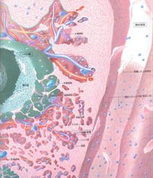 扁桃腺の血管図 引用:講談社刊 細胞と組織の地図帳より。