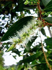 Tea -Tree m.a - Melaleuca alternifolia