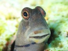 石垣島でのんびりダイビング「イシガキカエルウオ」