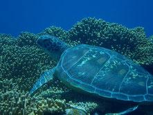 石垣島でのんびりダイビング「アオウミガメに遭遇」