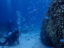 石垣島でのんびりダイビング、デバスズメダイの群れ