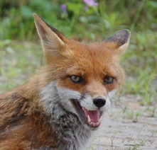 Der Fuchs als ein Wildtier in der Stadt ist auch potenzieller Überträger von Krankheiten. Foto: Miroslav Großer/PIXELIO