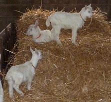 les chevreaux, petits des chèvres blanches de La Pérotonnerie de Rom, élevage des Deux Sèvres