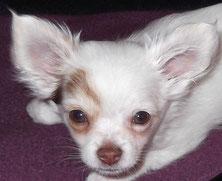 Chi-Love.de | Kauf- und Erziehung | Das richtige Abgabealter von Chihuahua Welpen