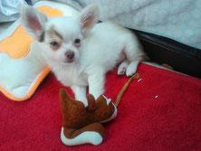 Chi-Love.de | Dein Welpe zieht ein | Foto: Swiffer Chihuahua