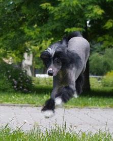 Продам щенка китайской хохлатой
