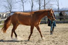 Pferd an der Longe