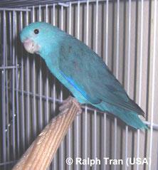 Forpus xanthopterygius (Blauflügelsperlingspapagei) blau