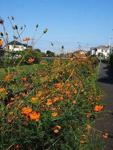 ●遊歩道にはコスモスが咲いていました