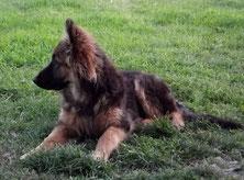 Un chiot berger allemand femelle noire et feu couchée dans l'herbe par coach canin 16 educateur canin à cognac angouleme