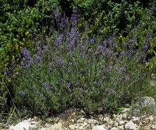 Lavendel in der freien Landschaft