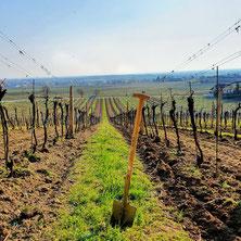 Weinland, Thermenregion, Frühling, Sommer, Weingarten, Handarbeit, Laub, Reben, Bad Vöslau, Auspflanzen, Jungpflanzen