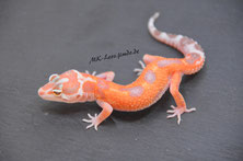 (GEM Snow) W&Y Emerine Tremper Albino het. Eclipse
