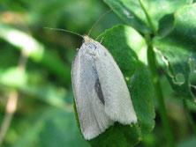 Wickler (Aceris logiana)