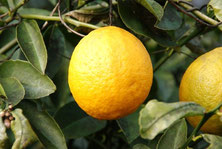 庭先のレモン