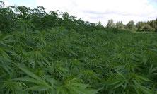 Hanfplantage - Cannabis Sativa Feld Outdoor