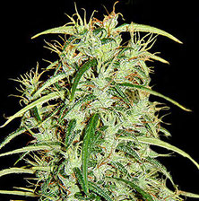Erntereife Cannabis Hanf Blüte erkennbar an Trichomen und reife Calyx