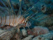 石垣島のミノカサゴ(幼魚)