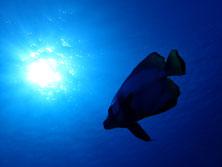 石垣島のアカククリ
