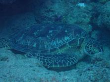 石垣島のアオウミガメ