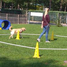 Ein heller Labrador läuft im Schritt um einen kleineren Kreis.
