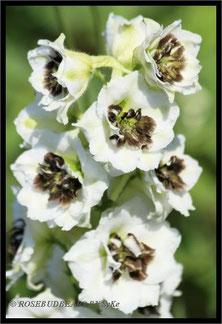 Dephinium Rittersporn