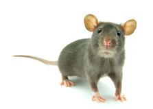 Farbratten, Ratten, Samtpfötli Shop