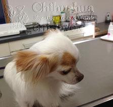 Swiffer Chihuahua   Chi-Love.de   Untersuchungstisch Tierarzt