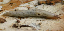Genetzte Ackerschnecke / das ist ein gefürchteter Gast im Garten und auf dem Feld. Diese Schnecke kennt keine Gnade und frißt ober- wie unterirdisch Saaten, Zwiebeln, Pflanzen ratzeputz weg