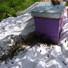 Capture-d-un-essaim-par-Miel-et-gouter-d-antan