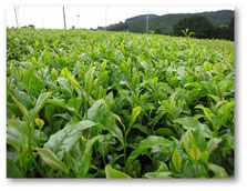 鹿児島県茶葉