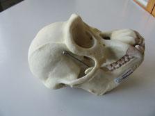 Schimpansenschädel