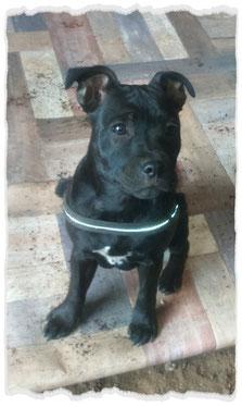 Staffordshire Bull Terrier à l'école pour chiots à Dax