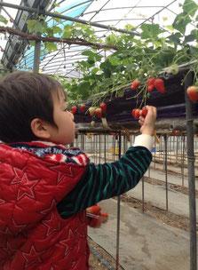 イチゴ狩り ゆきもと農園