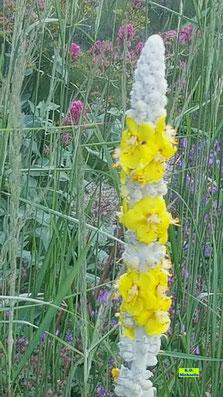 Nahaufnahme eines Blütenstandes der Sedigen Königskerze / Seidenhaar-Königskerze mit etlichen geöffneten gelben Einzelblüten am weißen, behaarten Stängel von K.D. Michaelis