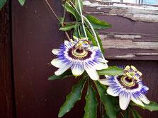 Passiflora auch Passionsblume (heimisch im südlichen Nordamerika)