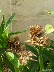 Čaška cvjeta Leonotisa. Čaške u cvjetnim pršljenovima su toliko zbijene da onemogućavaju ostalim oprašivačima (poput pčela) bušenje dna tubula kako bi došli do nektara.