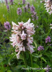 Stachys officinalis Kalići's rose queen, border, perenial, sun, gredice,trajnica, sunce, natural garden, bees