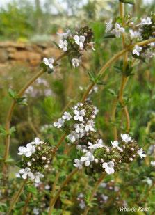 Thymus fragrantissimus Kalićis white profusion je bijela sorta selektirana u našoj vrtlariji