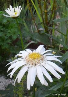 Leucanthemum Christine Hagemann