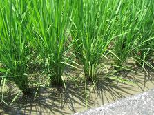 ジャンボタニシで除草した水田