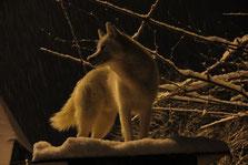 Blizzard geniesst einen interessanten Ausblick in einer herrlich verschneiten Nacht