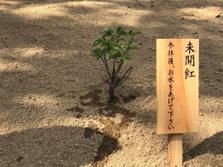 江戸時代、見事に咲き誇った「未開紅」の苗木