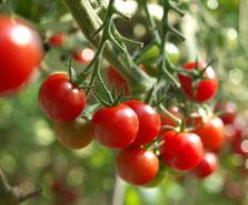 真っ赤で美味しいミニトマト