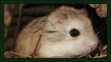 zwerghamster Meerschweinchen Gehege Nagarium Käfig Vivarium Nager Kaninchen Mäuse Maus Hamster Zwergkaninchen Farbmaus Rennmaus