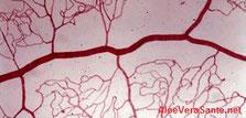 Qu'est ce qui fait de l'aloe vera un moyen si excellent au sein de la médecine holistique ?     La faculté de l'aloe vera de rétablir une circulation sanguine saine dans les capillaires