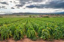 Les méfaits du tabac en Afrique.